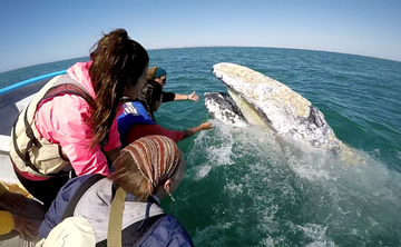 Magical Gray Whale Experience in Baja, Mexico