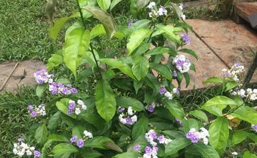 Sanango Master Plant Isolation Diets