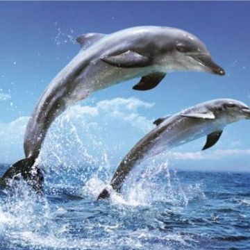 Dolphins, Yoga healing retreat : Bali - Singaraja (Dec 2017)